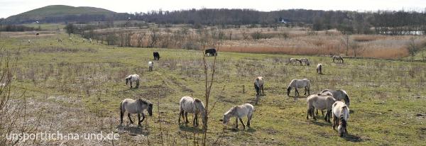 Wasserbüffel und Konikpferde bei den Schönerlinder Teichen. Foto: Petra A. Bauer 2015