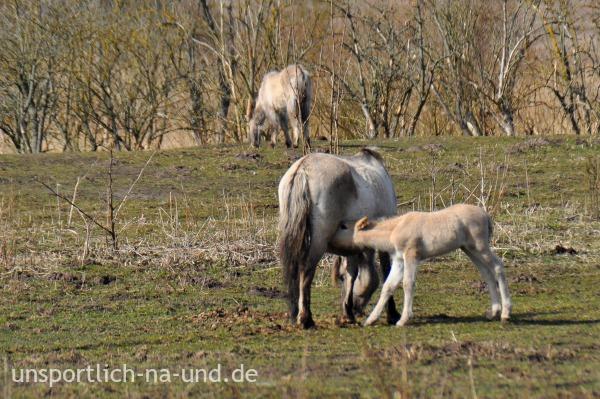 Konikpferdfohlen trinkt bei der Mutter. Foto: Petra A. Bauer 2015.